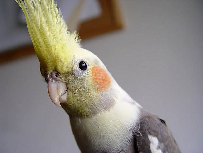 A photo on Google of a cockatiel...not Cooney.