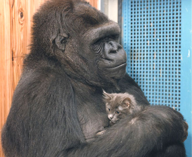 Oh, how cute.  Koko The Gorilla is hugging her birthday present, a cat named Smoky.